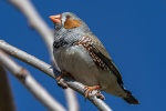 Mark S 006 Zebra Finch_smaller.JPG