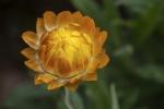 Warren_Hicks_01_Everlasting daisy ANBG.JPG
