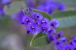 Warren_Hicks_06_wildflower_Warrumbungles_Tara_shelter_walk.JPG