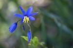 Warren_Hicks_07_Warrumbungles_Nodding blue lilly_(a herb)_Stypandra glauca.JPG