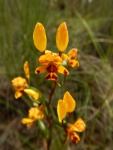 Giles West - Orchid 10 Leopard orchid.jpeg