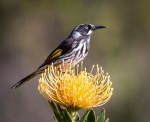 RodBurgess.02. New H honeyeater.jpeg
