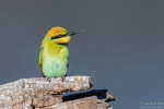 Tony.Clark.04.Rainbow.Bee-eater.jpeg