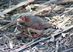 Male Zebra finch Coward Springs.jpg