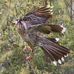 red wattle bird.jpg