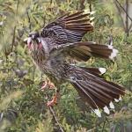 red wattle bird.jpg