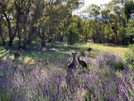 helen hall - 4-Kangaroos  on Mt Taylor.jpeg