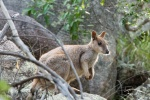 Rock Wallaby.jpg