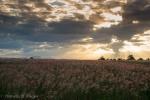 Sunset over pink fields.jpg
