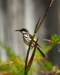 Shane Baker_09_White-cheeked Honeyeater_8507454.jpeg