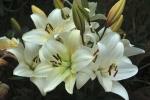 Giles West White lillies.jpg