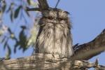 Milton-juvenile Tawny Frogmouth1.jpg