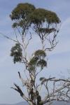 Milton-tree behind Hawker.jpg