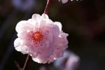 4 Flowering Plummid.JPG