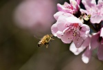 Bee's - Buzzing around Isabella Plains - Peach Treemid.JPG