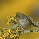 302A2656silvereye 2Thursday 31 Aug 17-smaller.JPG
