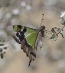 Milton-butterfly2-smaller.JPG