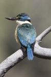 Milton-Kingfisher-smaller.JPG
