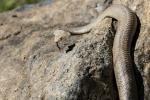 Milton-snake-smaller.JPG
