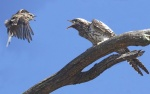 302A4930jackie winter and fantail fledgling tues 30 jan 18-001-sml.JPG