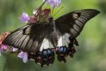 Orchid Swallowtail-0822-sml.JPG