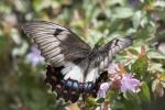 Orchid Swallowtail-0848-sml.JPG