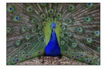Peacock Canberra Zoo_small.JPG