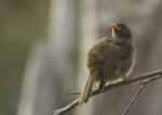302A6837copy bell birdEden_small.JPG