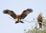 AX0A6989black kites_small.JPG