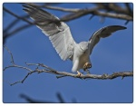 Black-shouldered Kite4_21May20182018_s.JPG